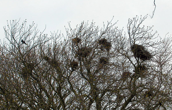 crows nests