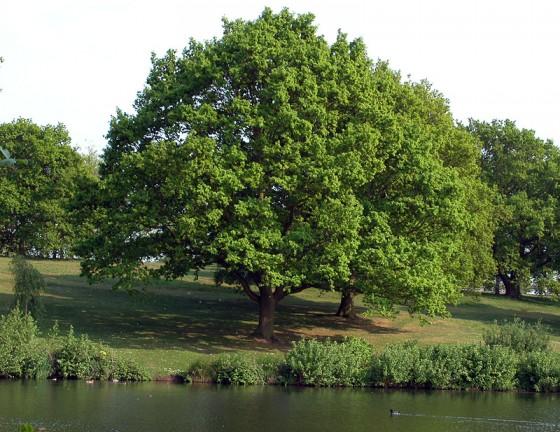 oak-in-spring