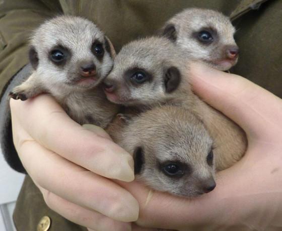 Suffolk-Owl-Sanctuary-meerkats