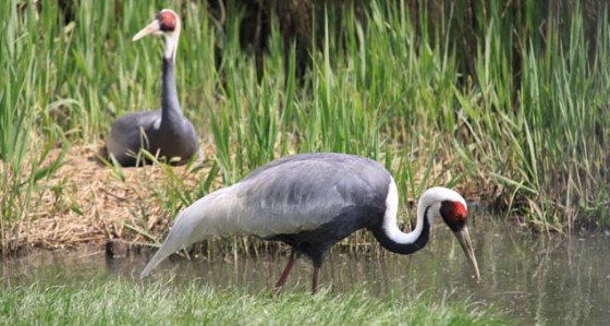 cranes-at-pensthorpe