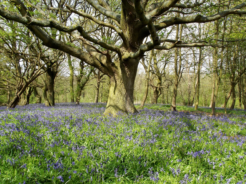 Sots hole Broad fairhaven-bluebell-woodland