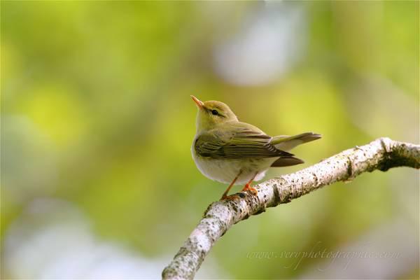 Birds of the British Isles ashleygrovewildimages.co.uk