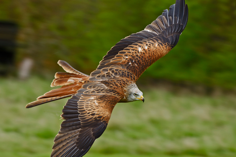 Suffolk Owl Sanctuary Red Kite