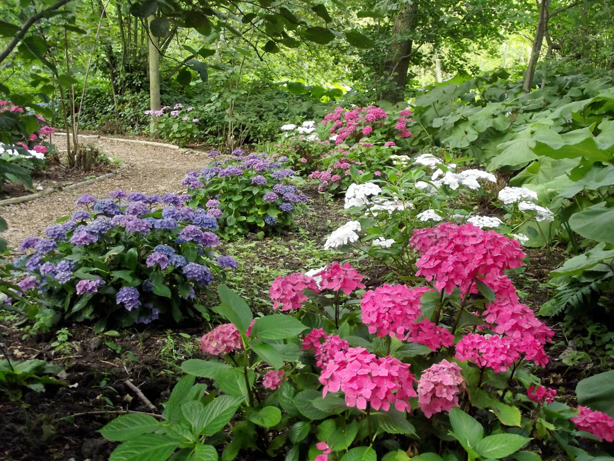 Fairhaven Garden – New Hydrangea Path