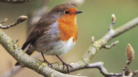 Beccles Marsh Trail rspb-robin