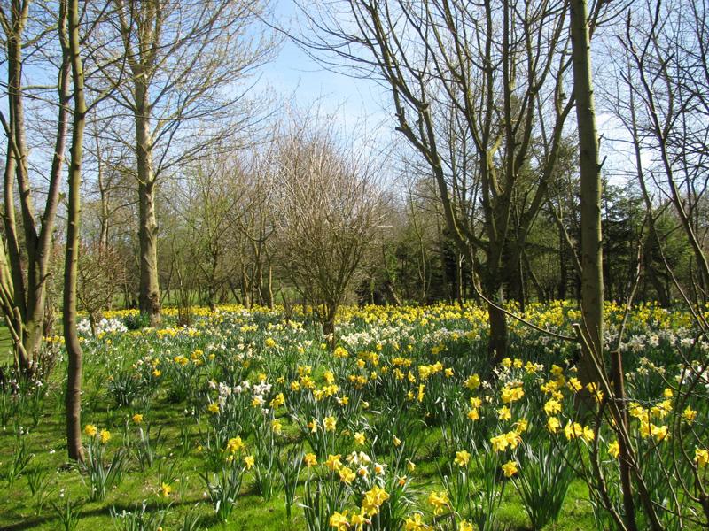 Daffodil Open Garden