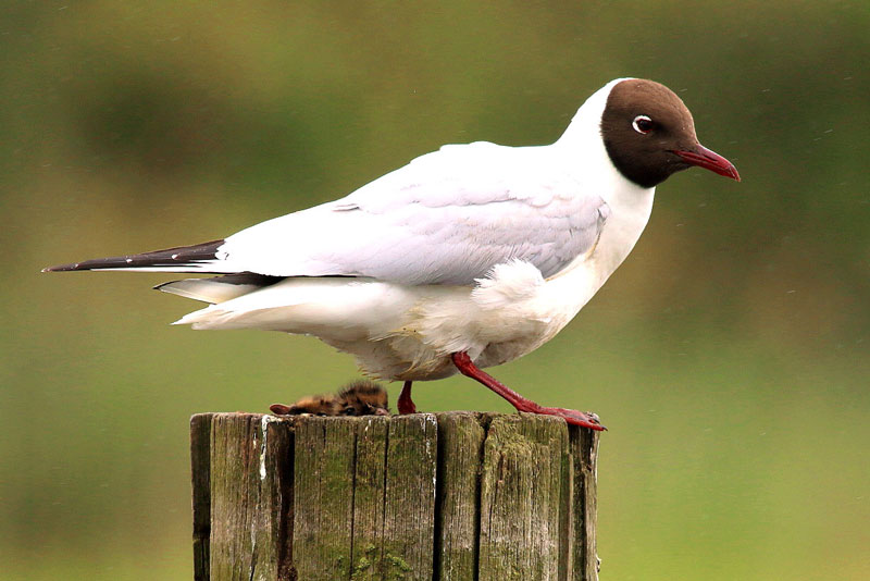Fairhaven Garden Black Headed Gull Colony
