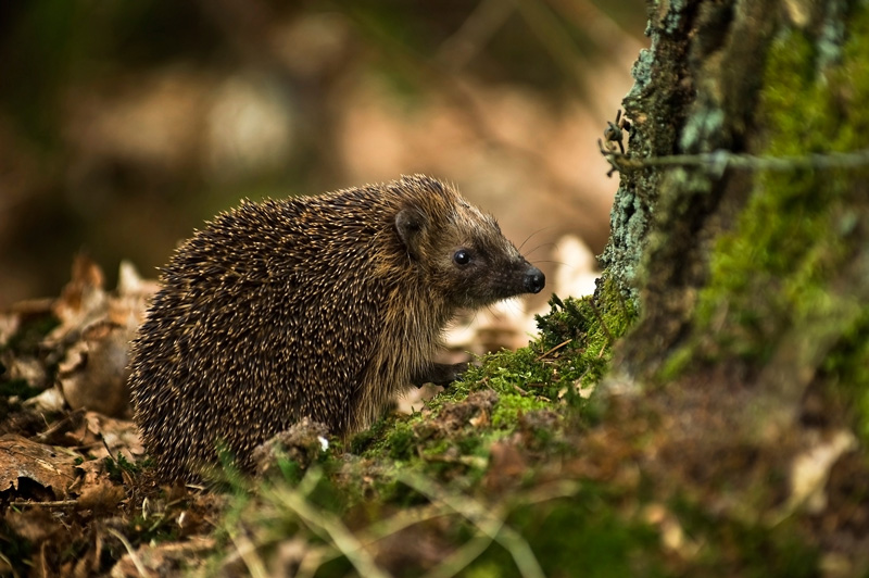 Hodmedods Hedgehog Awareness Day